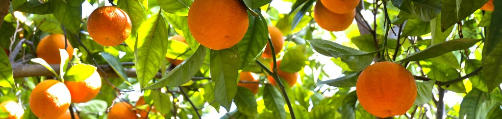 Orange-Tree_SL